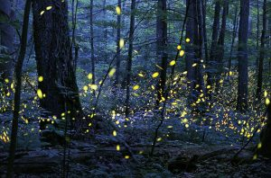 How to See the Fireflies in Congaree National Park in 2020 » Girl, Book the  Trip!