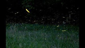 How to photograph fireflies - YouTube